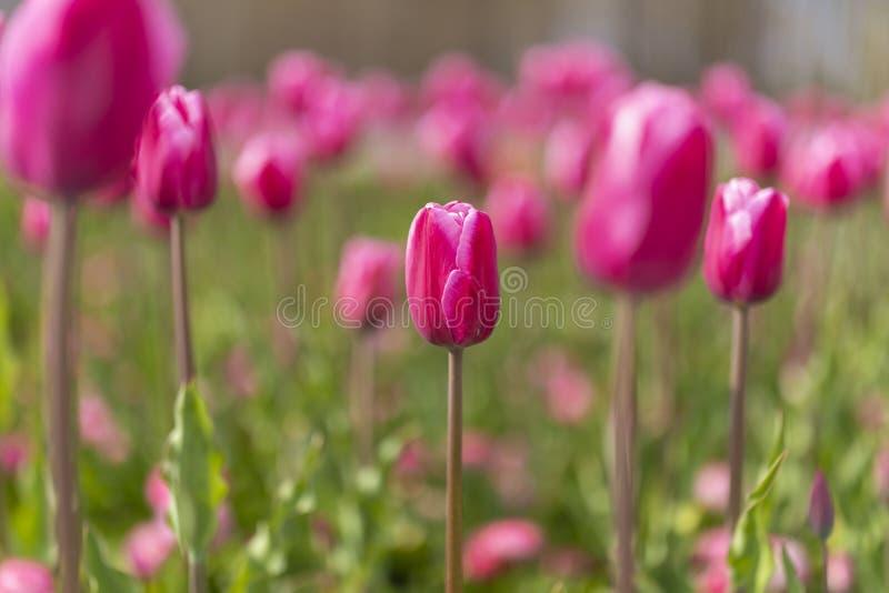 tulipanu okwitnięcie na blured tle Selekcyjna ostrość obrazy stock