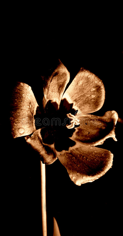 Download Tulipanu otwórz rain obraz stock. Obraz złożonej z brąz - 43637