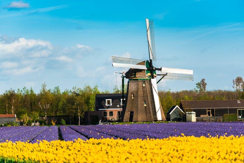 Tulipanu pole i starzy młyny w netherland zdjęcia royalty free