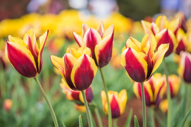 Tulipanu pole w parku fotografia stock