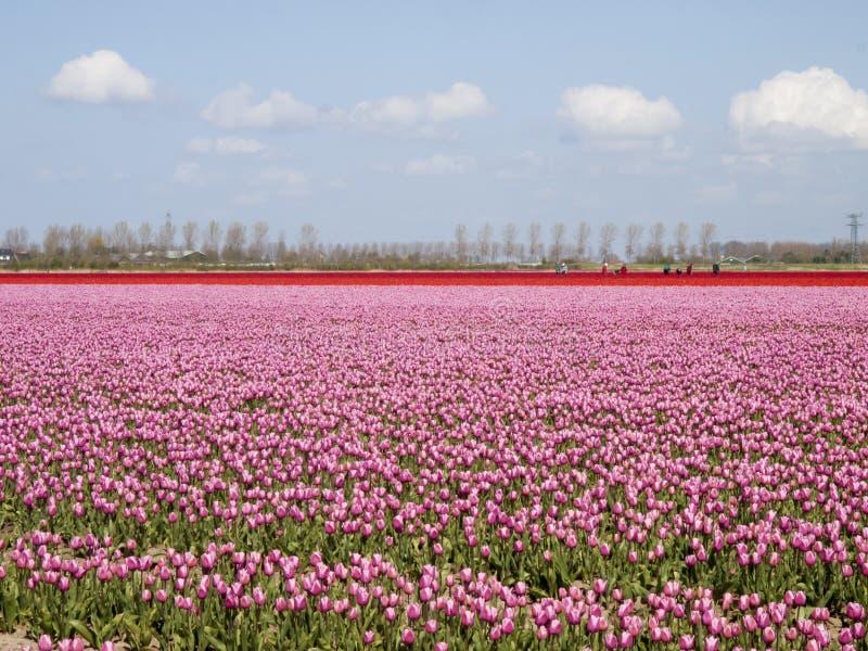 Tulipanu pole z pracujący ludzi obraz stock