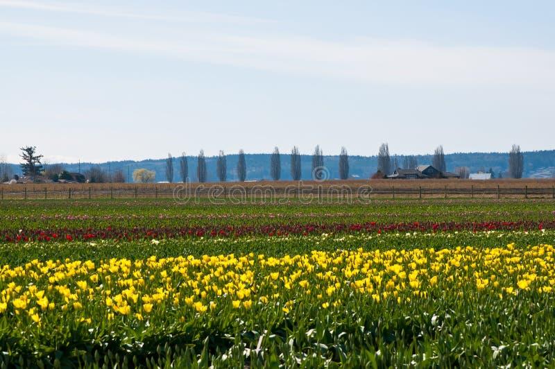 Tulipanu pole z różnymi kolorów tulipanami zdjęcia royalty free