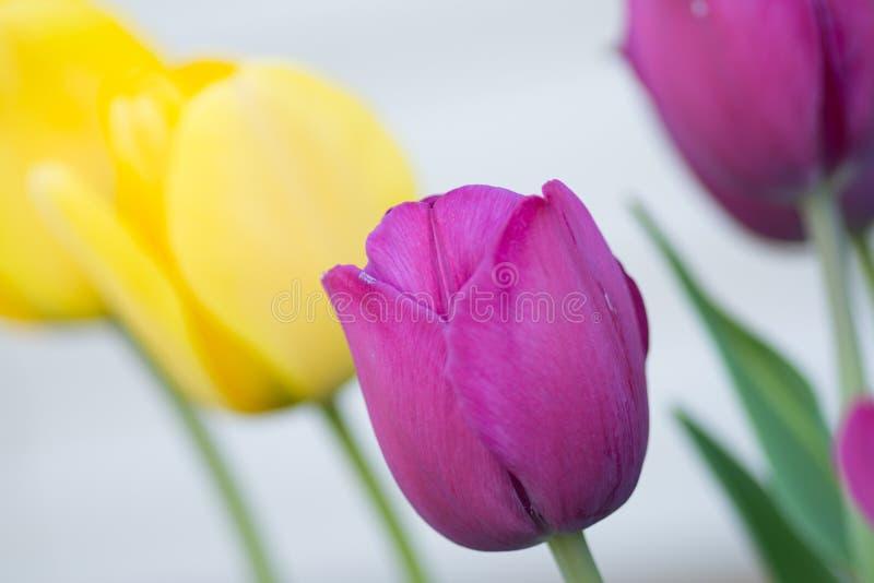 tulipanu różowy kolor żółty obraz royalty free