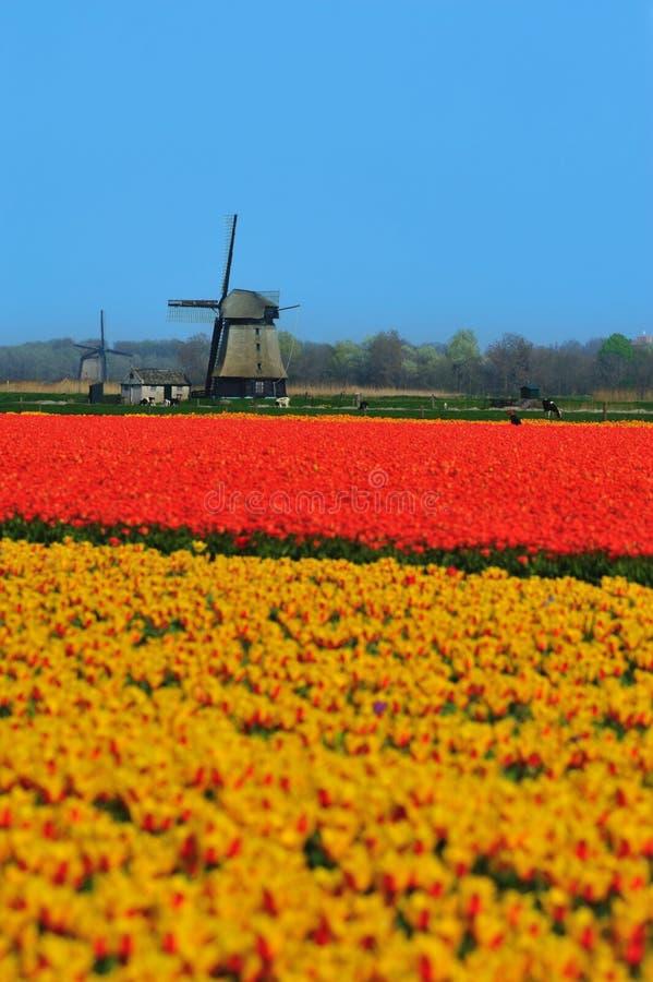 tulipanu wiatraczek zdjęcie stock