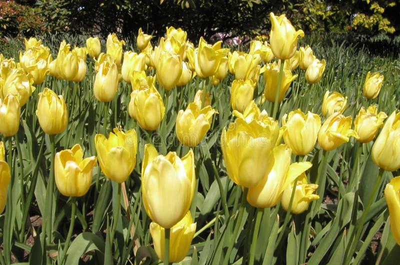 Tulipany łóżkowi żółte Obrazy Royalty Free