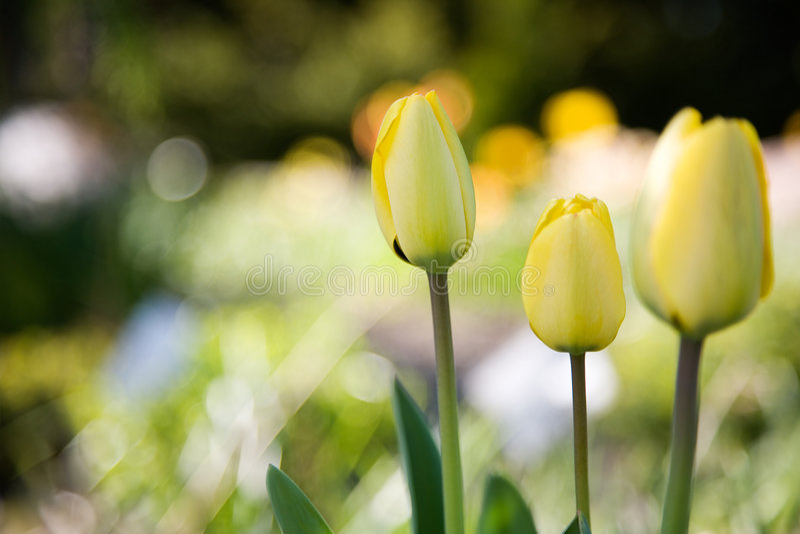 tulipany żółte obraz stock