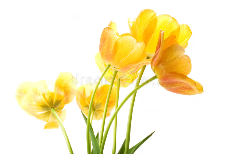 tulipany żółte obraz royalty free