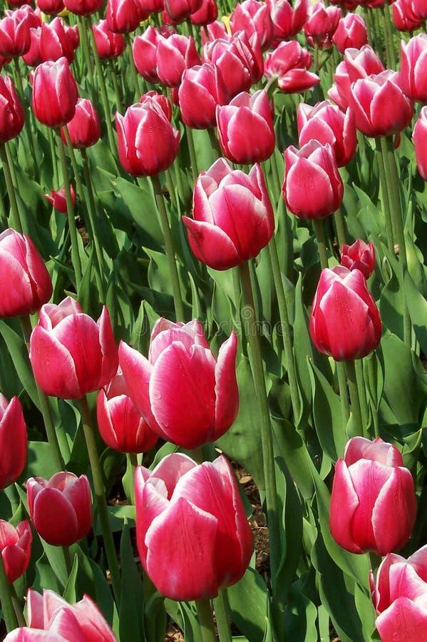 Download Tulipany zdjęcie stock. Obraz złożonej z nowy, kwiat, liść - 28994