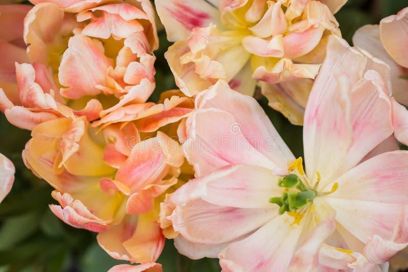 Download Tulipany obraz stock. Obraz złożonej z żarówki, zakończenie - 53787255