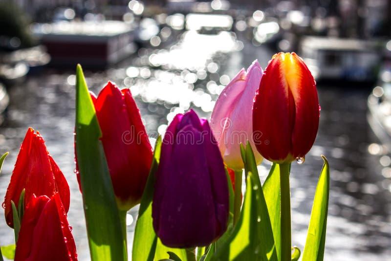 Tulipany - Amsterdam - budynki zdjęcia stock