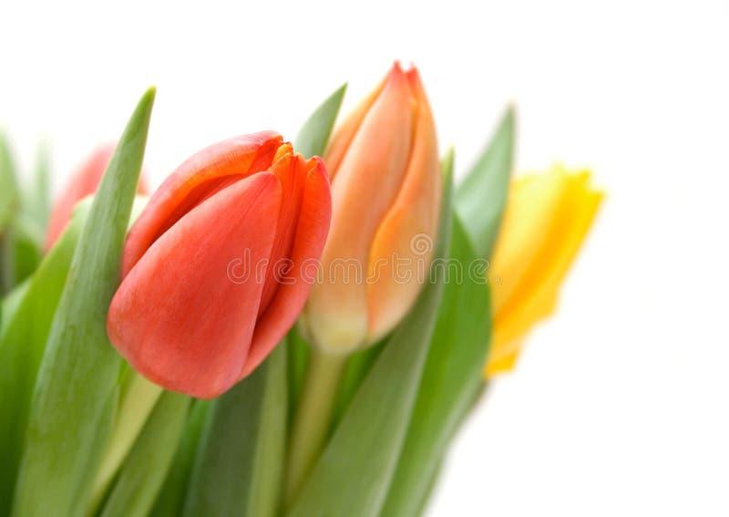 tulipany barwna obrazy royalty free