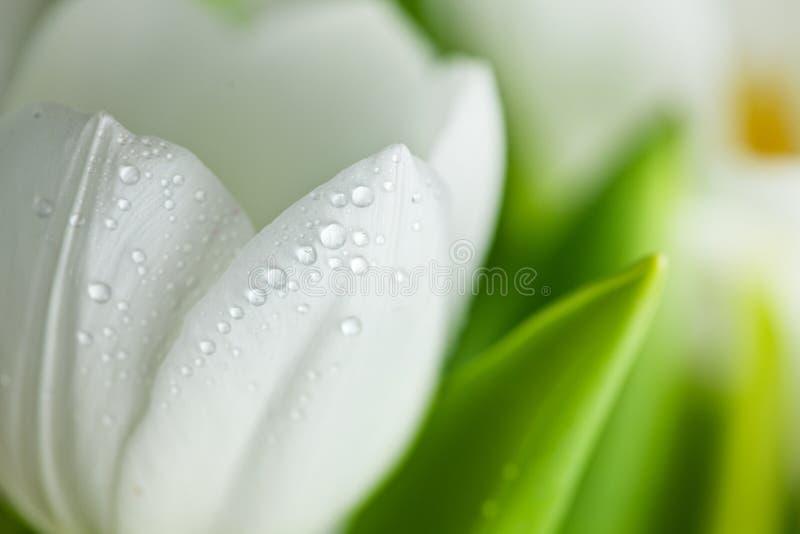 tulipany biały obrazy stock