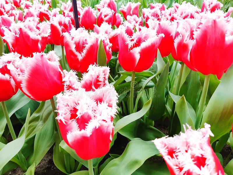 tulipany cudowni Pi?kny widok natura Kwiat?w wierzcho?ki Keukenhof ogr?d, holandie fotografia royalty free