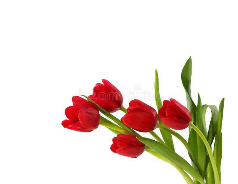 tulipany czerwone fotografia stock