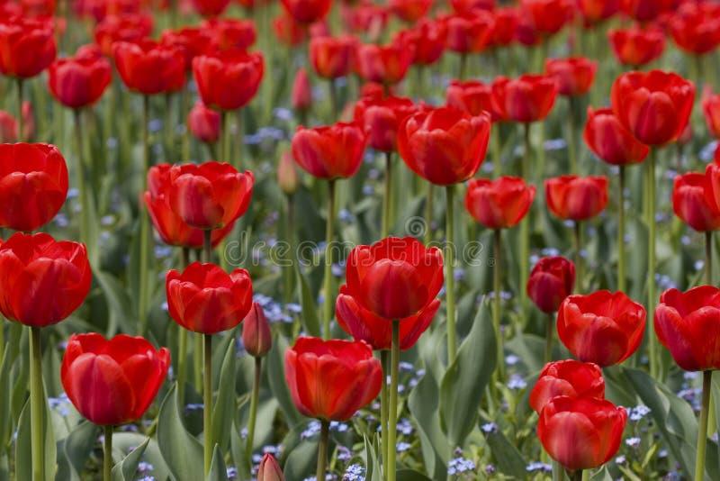tulipany halizna zdjęcia stock