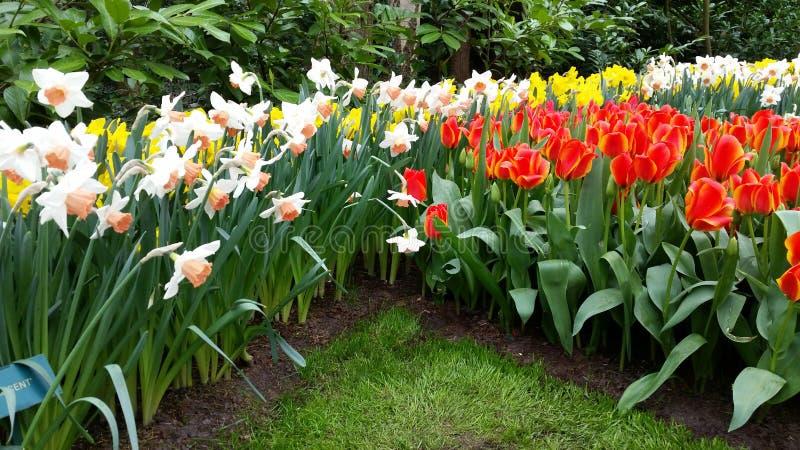 Tulipany i narcyz zdjęcie royalty free