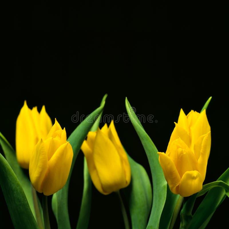 tulipany ii zdjęcie stock