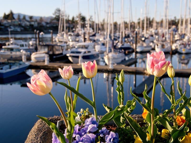 Tulipany kwitną na brzeg Sidney, Vancouver wyspa z jachtami w marina, BC fotografia stock