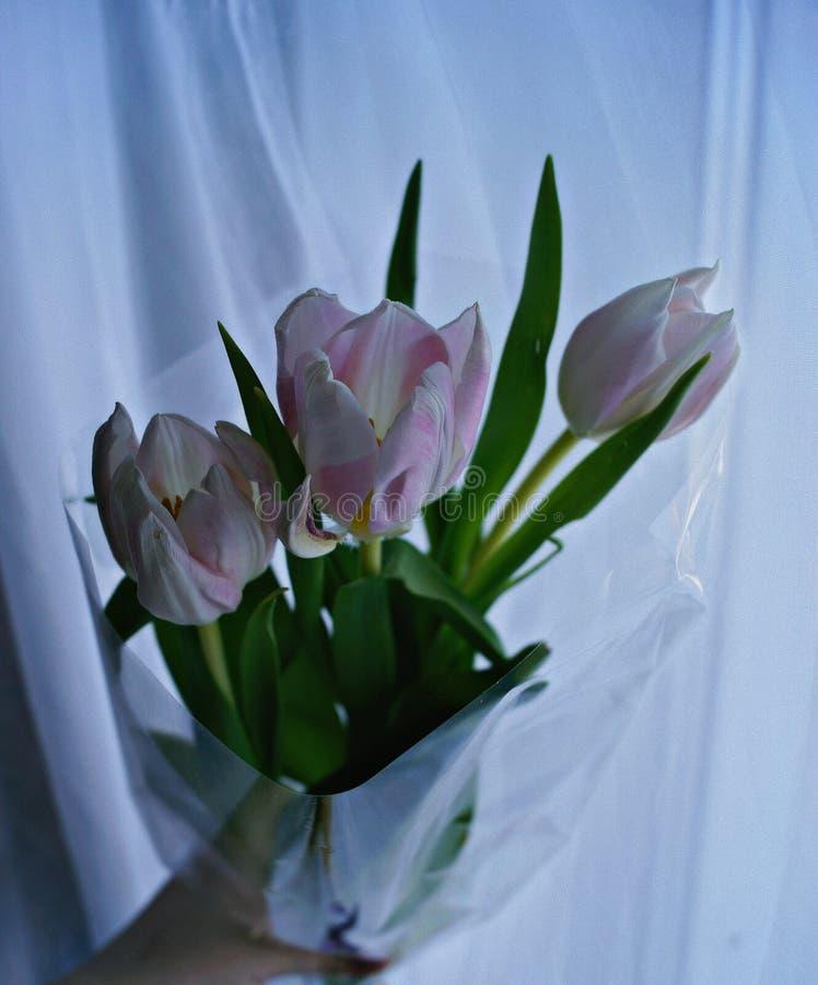 Tulipany Międzynarodowy kobiety ` s dzień fotografia royalty free