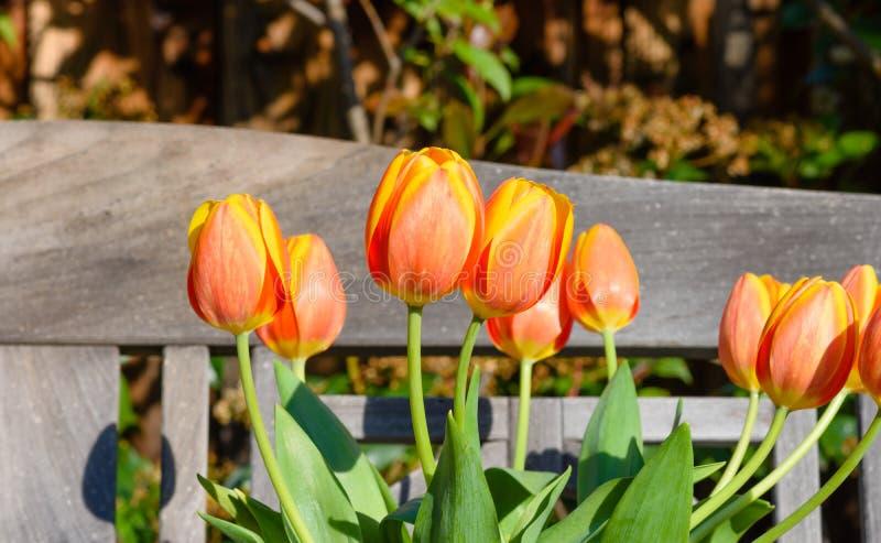 Tulipany na ławce outdoors obrazy stock