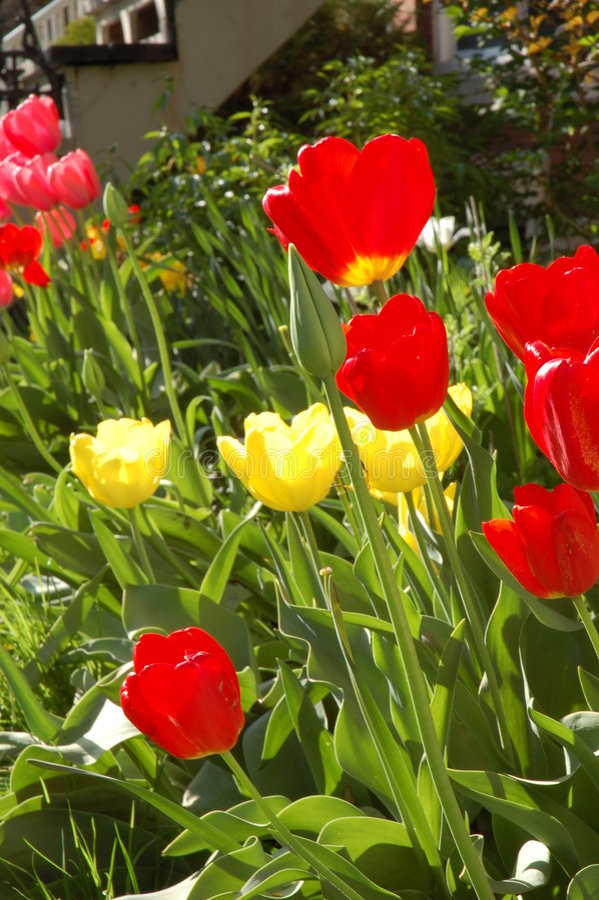 tulipany na żółte obraz royalty free