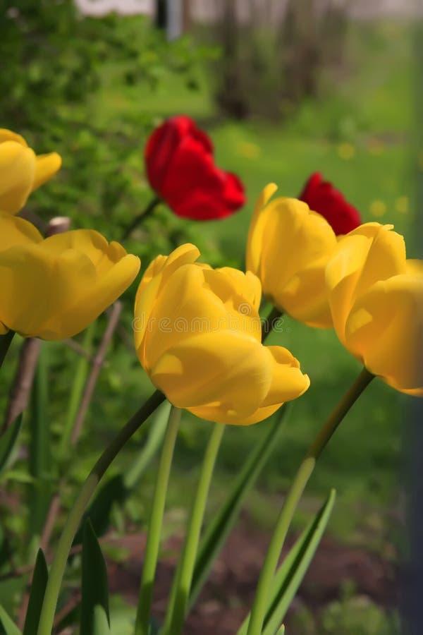 tulipany na żółte obrazy royalty free