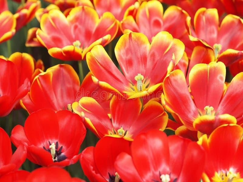 tulipany na żółte obrazy stock