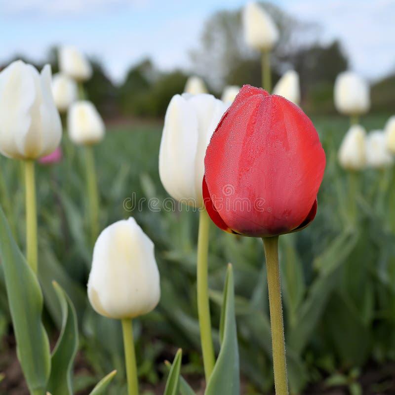 Tulipany na tulipanu polu obrazy royalty free