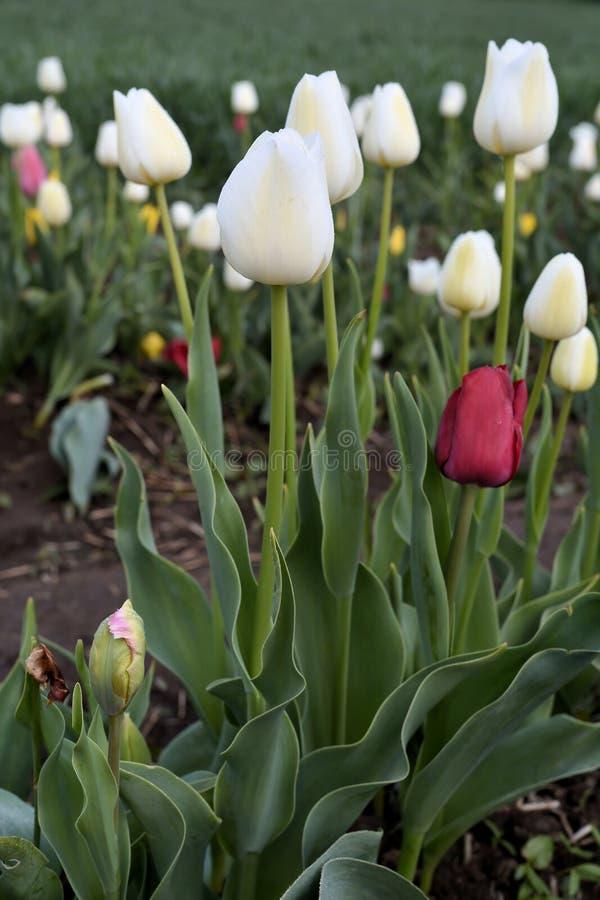 Tulipany na tulipanu polu obrazy stock