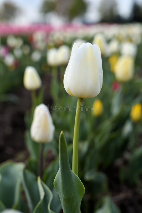 Tulipany na tulipanu polu obraz stock