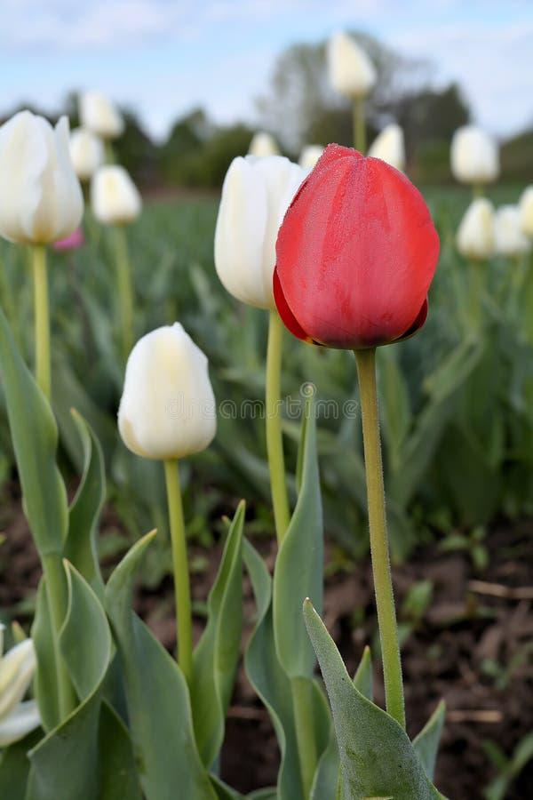 Tulipany na tulipanu polu zdjęcie royalty free