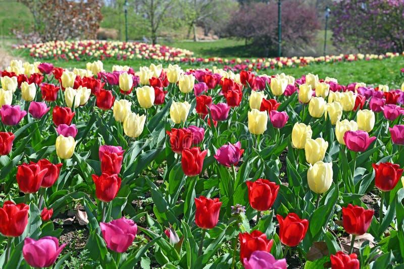 Tulipany na wiosnę Kurpark Oberlaa Wiedeń obrazy royalty free