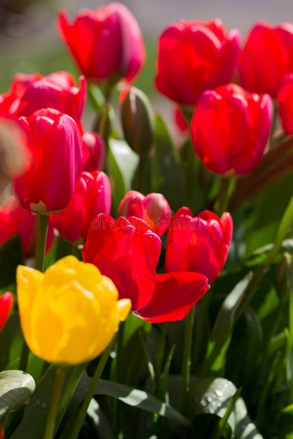 tulipany na zewnątrz zdjęcie royalty free