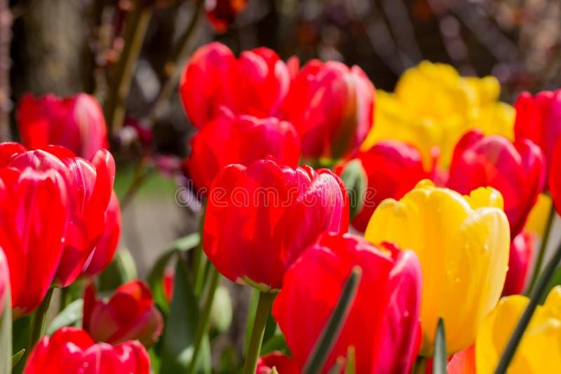 tulipany na zewnątrz obraz stock