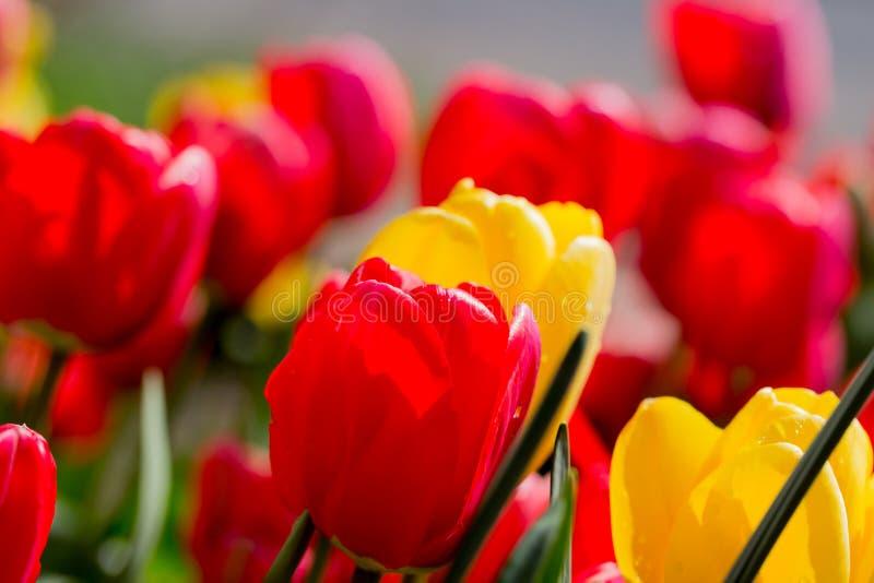 tulipany na zewnątrz fotografia stock