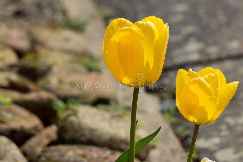 tulipany na zewnątrz zdjęcia stock