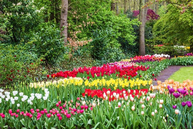 Tulipany parkują Keukenhof - wielki kwiatu ogród w Europa, Holandia zdjęcie royalty free