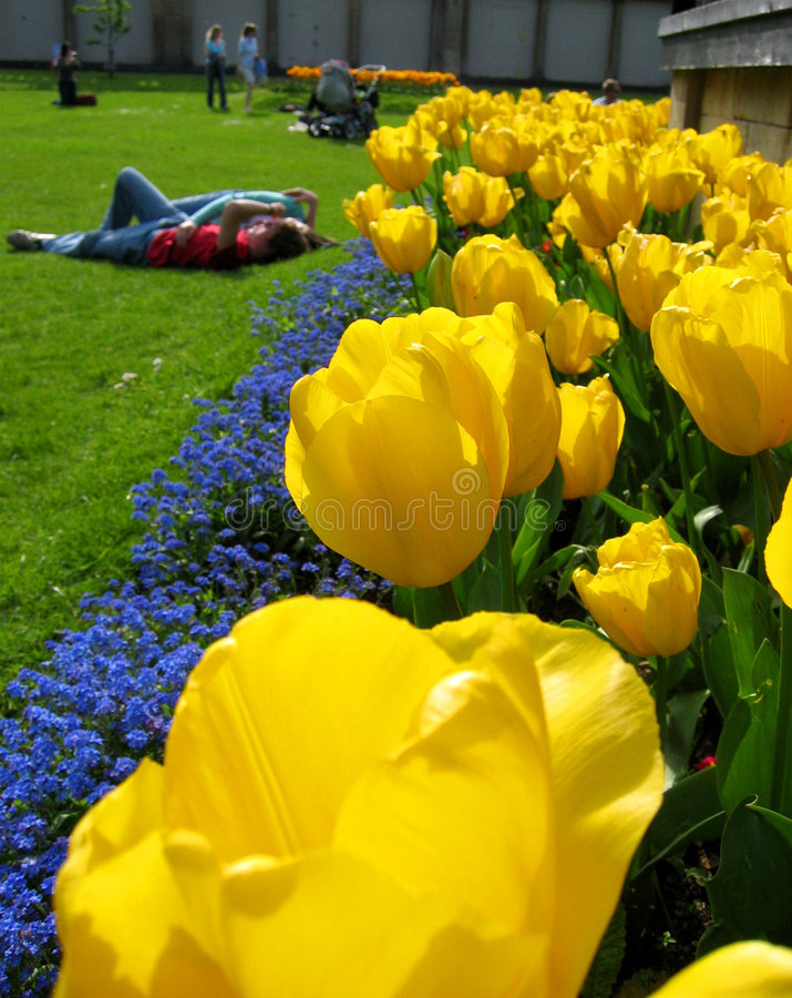 tulipany piękne obrazy royalty free