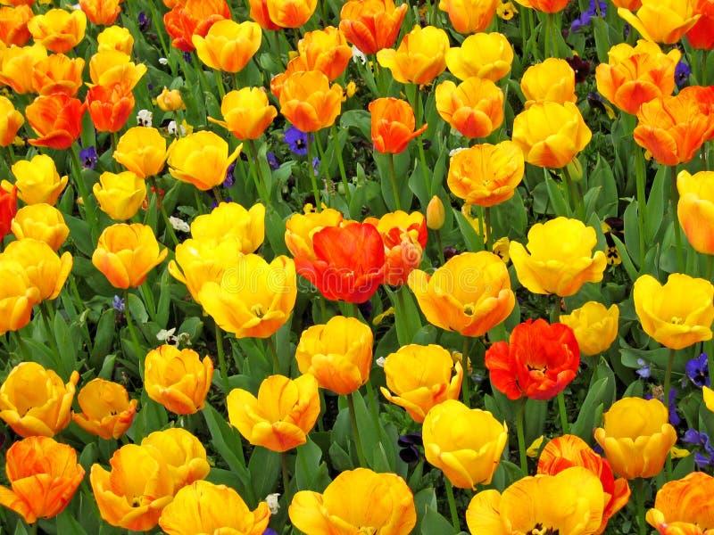 tulipany piękne fotografia stock