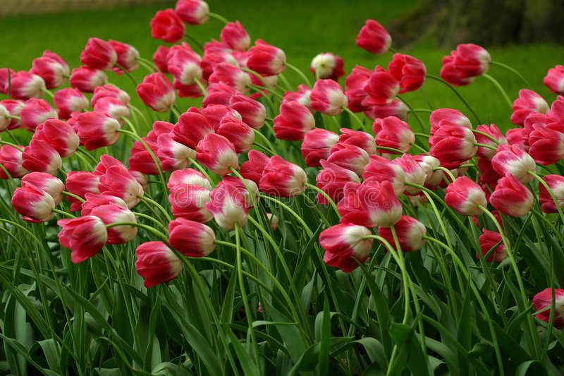 tulipany polowe obraz stock