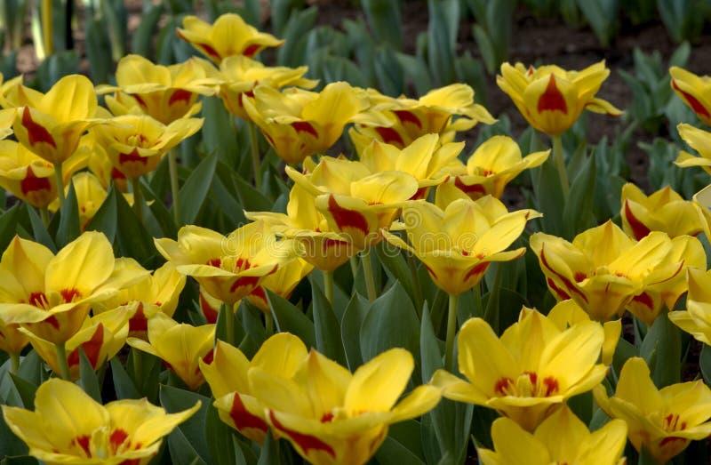 tulipany polowe zdjęcie royalty free