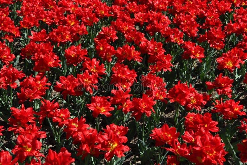 tulipany polowe bloom fotografia stock