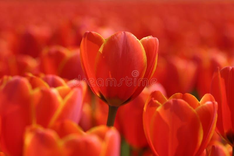 tulipany pomarańczowe fotografia royalty free