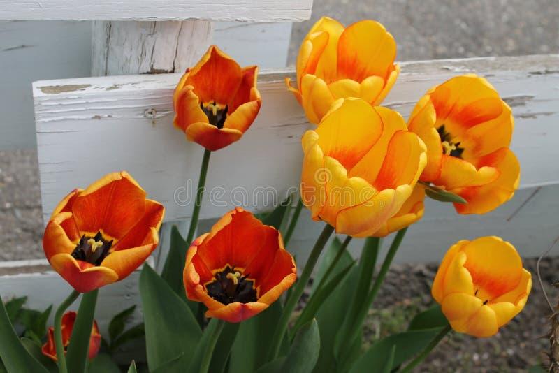 tulipany pomarańczowych żółte obraz stock