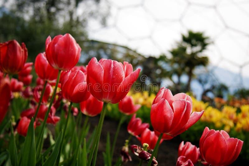 - tulipany projektu zdjęcia royalty free