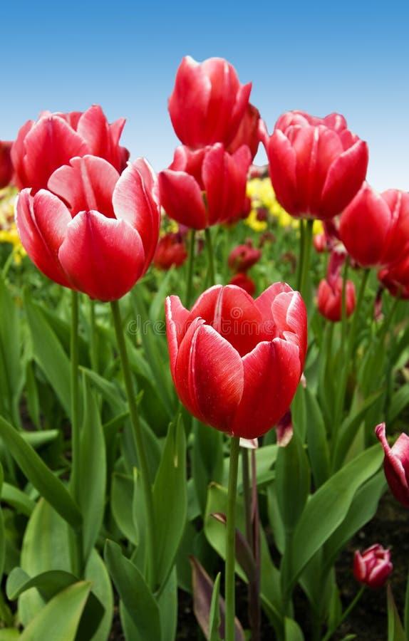 - tulipany projektu fotografia stock