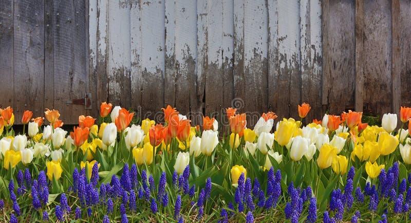 Tulipany przeciw starej stajni fotografia stock