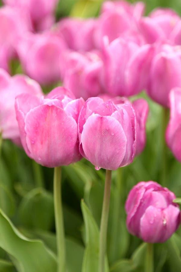 tulipany różowe zdjęcie stock