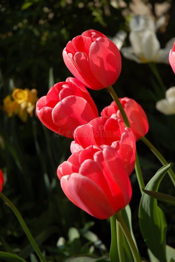 tulipany różowe wiosna zdjęcie stock