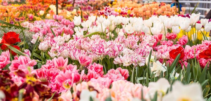 Download Tulipany różowe obraz stock. Obraz złożonej z kwiat, naturalny - 53787249